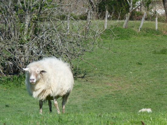 regard de mouton